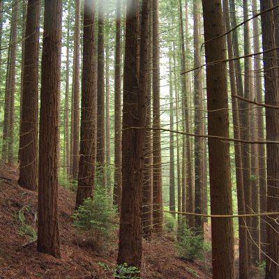 Bosque de Secuoyas de Cabezón