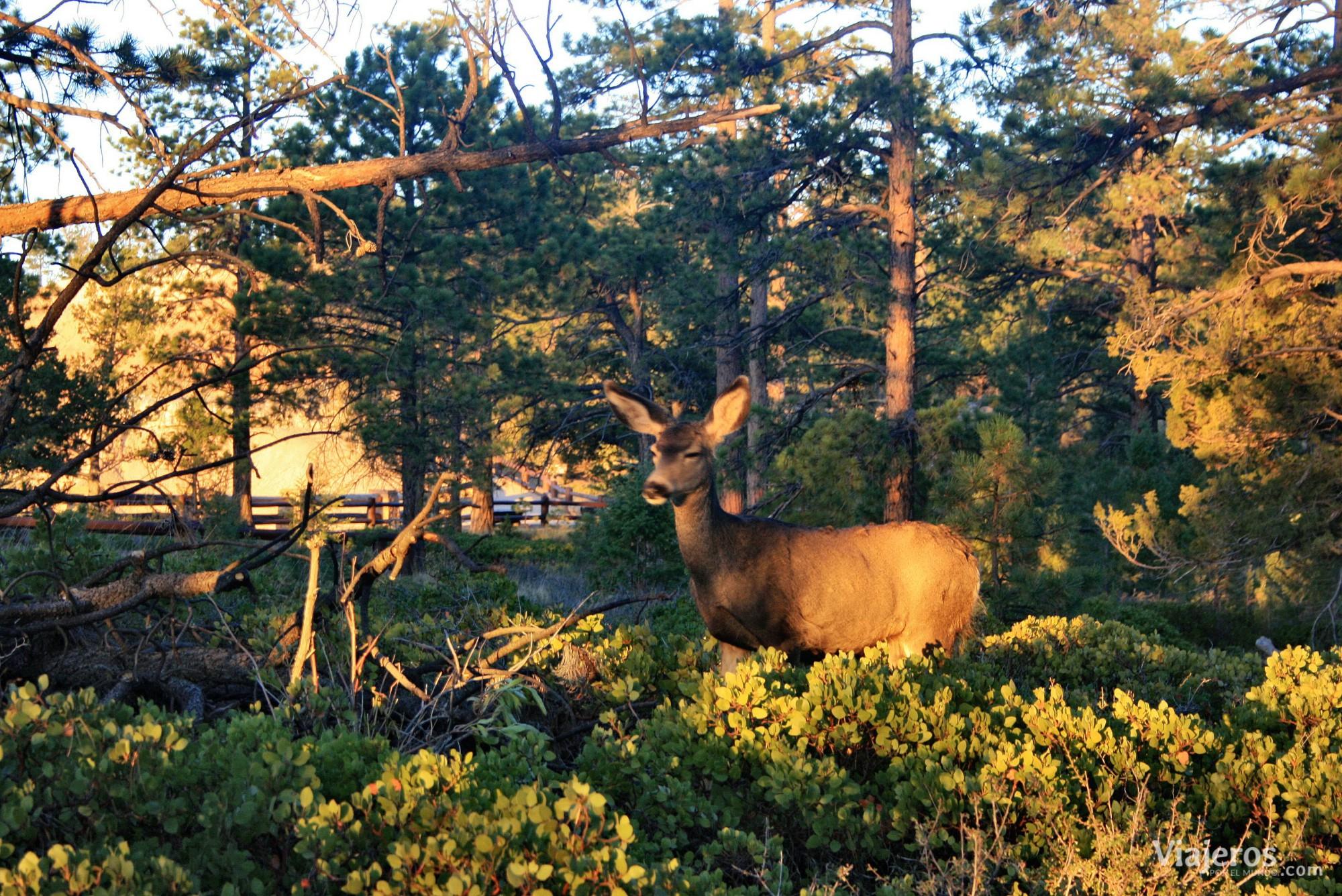 fauna Bryce Canyon National Park