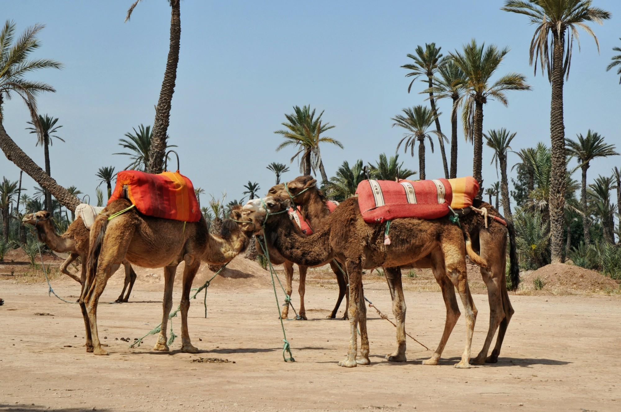 Palmeral de Marrakech, mística y dromedarios - Viajeros por el Mundo
