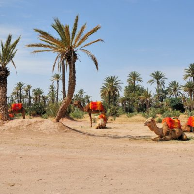 Palmeral de Marrakech, mística y dromedarios